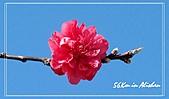 屬於阿里山56km的茶...:桃花.jpg