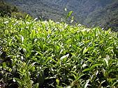 屬於阿里山56km的茶...:DSCN3011.JPG