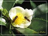 屬於阿里山56km的茶...:蜜蜂採蜜in茶花..jpg