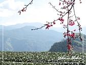 屬於阿里山56km的茶...:櫻花and茶園.jpg
