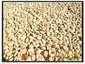 屬於阿里山56km的茶...:日曬法咖啡豆.jpg