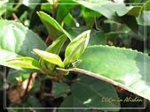 屬於阿里山56km的茶...:雀舌(一心二葉)..jpg