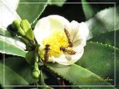 屬於阿里山56km的茶...:蜜蜂採蜜in茶花.jpg
