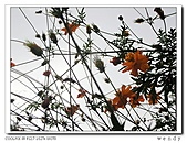 99冬茶香:nEO_IMG_DSCN9895-1.jpg