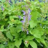 丹參.丹蔘.丹参:丹参Salvia miltiorrhiza.jpg