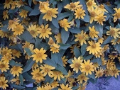 未分類相簿:十瓣菊
