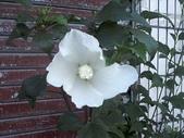 未分類相簿:白花木槿PHOT0670