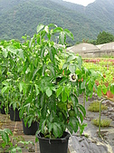 5.阿滿姨庄腳菜(澀水社區)、台一種苗場:P6101703