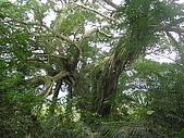 會走路的樹~巒山部落:P3220276