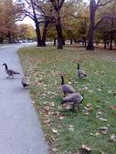 pets/animals (家畜/動物):goose