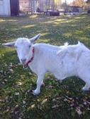 pets/animals (家畜/動物):羊