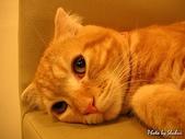 橘子貓:022橘子.jpg