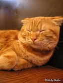 橘子貓:068橘子.jpg