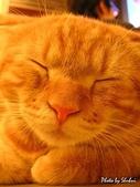 橘子貓:036橘子.jpg