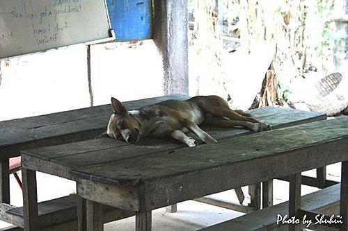 吳哥之旅~動植物:047柬埔寨狗狗