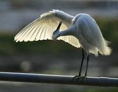 獵鳥篇210801(1):bird_CFJ8327 (4).jpg