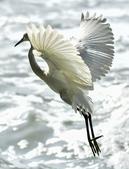 獵鳥篇210801(1):bird_CFJ8551.jpg