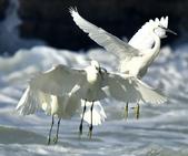 獵鳥篇210801(1):bird_CFJ8374.jpg