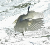 獵鳥篇210801(1):bird_CFJ8581.jpg