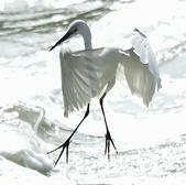 獵鳥篇210801(1):bird_CFJ8583.jpg