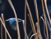 獵鳥篇210801(1):bird_CFJ8110.jpg