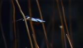 獵鳥篇210801(1):bird_CFJ8155.jpg