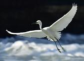 獵鳥篇210801(1):bird_CFJ8348.jpg