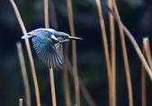 獵鳥篇210801(1):bird_CFJ8109.jpg