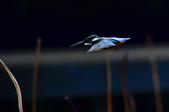 獵鳥篇210801(1):bird_CFJ8153.jpg