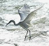 獵鳥篇210801(1):bird_CFJ8588.jpg