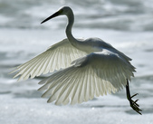 獵鳥篇210801(1):bird_CFJ8665.jpg