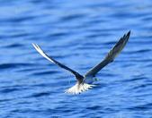 澳底打鳥20180722(2):b22_CFJ8148.jpg