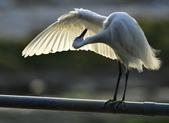 獵鳥篇210801(1):bird_CFJ8327 (5).jpg