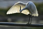 獵鳥篇210801(1):bird_CFJ8327 (8).jpg