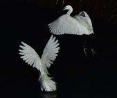 獵鳥篇210801(2):sh_CFJ7821.jpg
