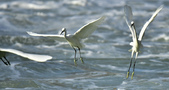 獵鳥篇210801(1):bird_CFJ8358.jpg