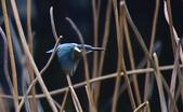 獵鳥篇210801(1):bird_CFJ8111.jpg