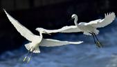 獵鳥篇210801(1):bird_CFJ8406.jpg