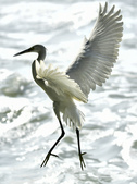 獵鳥篇210801(1):bird_CFJ8553.jpg