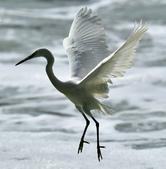 獵鳥篇210801(1):bird_CFJ8666.jpg