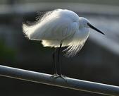 獵鳥篇210801(1):bird_CFJ8327 (3).jpg