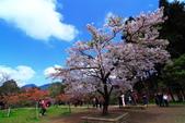 2012迷戀阿里山鐵道櫻花:IMG_7356.JPG