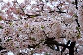 2012迷戀阿里山鐵道櫻花:IMG_7052.JPG