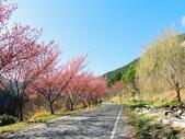 武陵櫻花遊-富野區:武陵富野區