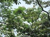 20120507~土城桐花公園:20120507_011.JPG