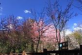02/26/11 飛奔武陵賞櫻趣:20110226武陵賞櫻去 (9)櫻花 藍天 怎麼拍都美.jpg
