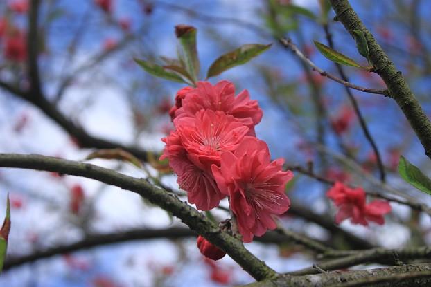 02/26/11 飛奔武陵賞櫻趣:20110226武陵賞櫻去 (15).jpg