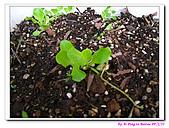 090222 我的黃金鼠&菜園:090222 Beitao02.jpg