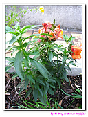 090222 我的黃金鼠&菜園:090222 Beitao08.jpg