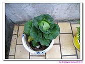 090222 我的黃金鼠&菜園:090222 Beitao12.jpg